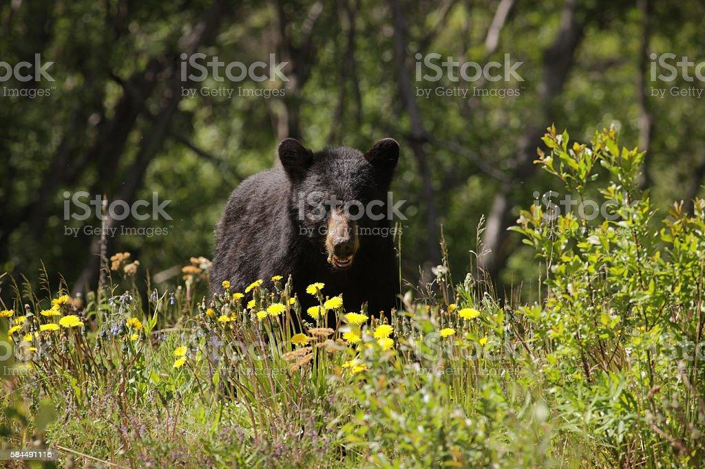 Black Bear Ursus americanus Foraging Dandelions stock photo
