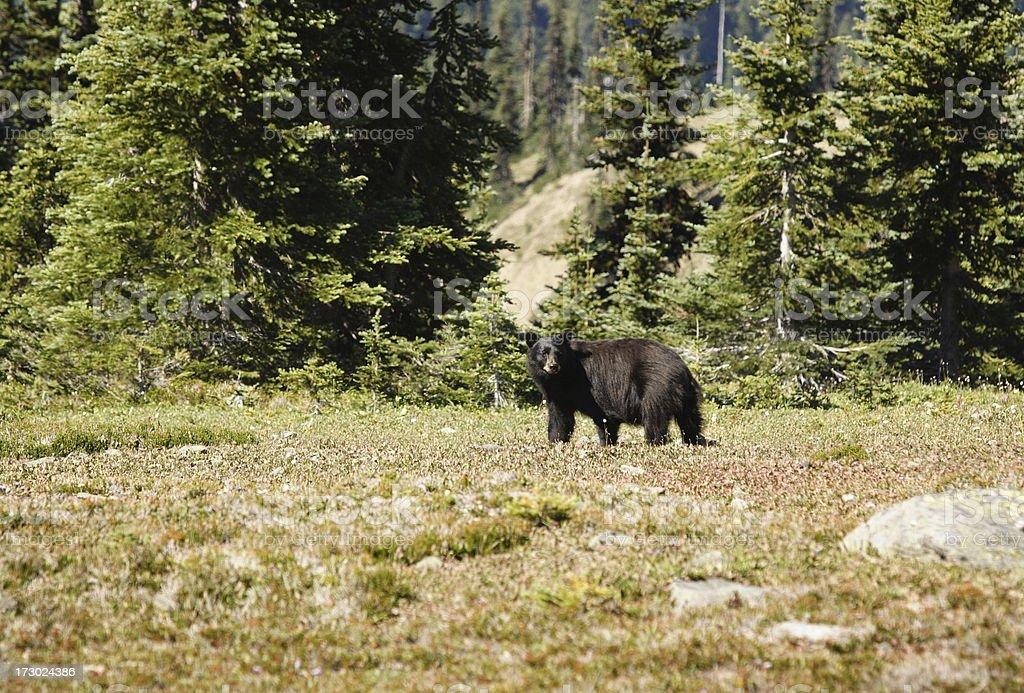 Black Bear Ursus americanus Foraging stock photo