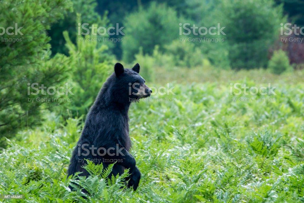 Black Bear - Ursus americanus stock photo