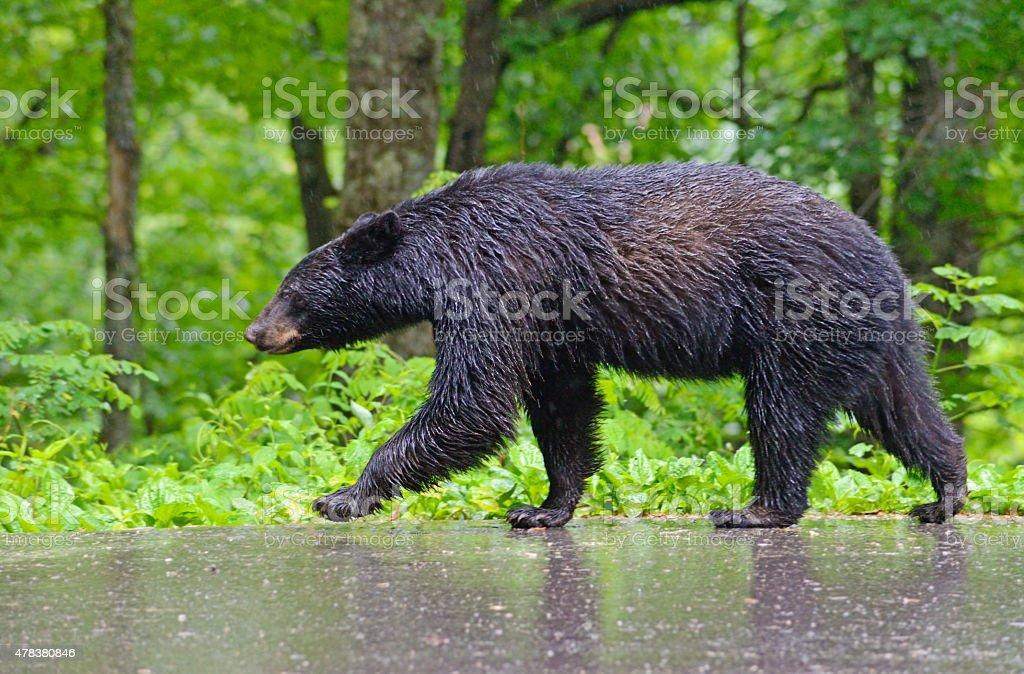 Black Bear walking in the rain in Cades Cove. stock photo