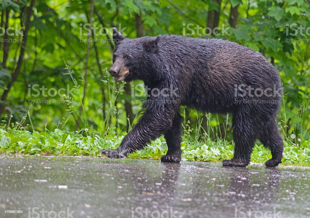 Black Bear walking in the rain. stock photo
