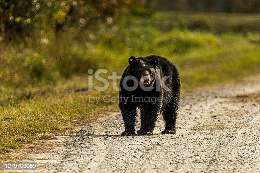 A black bear walking down a gravel road in the Alligator River National Wildlife Refuge near Manteo, North Carolina.