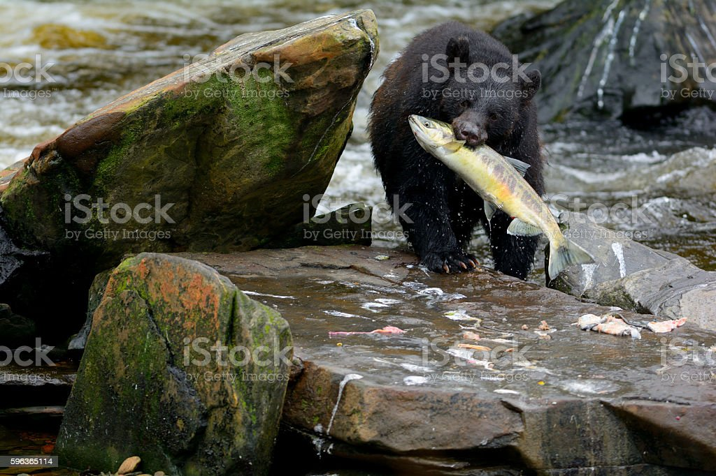 Black Bear with Salmon in Mouth stock photo
