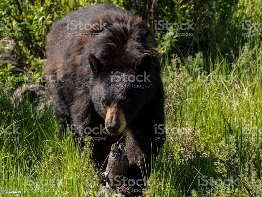 Black Bear, Yellowstone National Park, Wyoming, USA stock photo