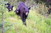 Female brown bear and cub walk through forest