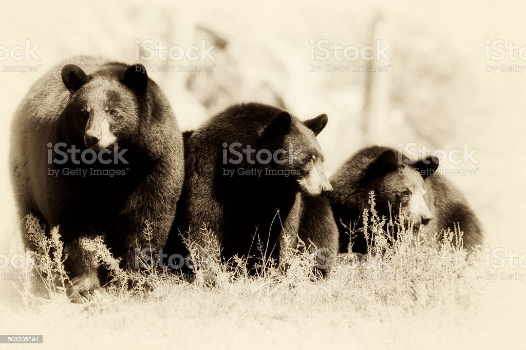 Black Bears stock photo