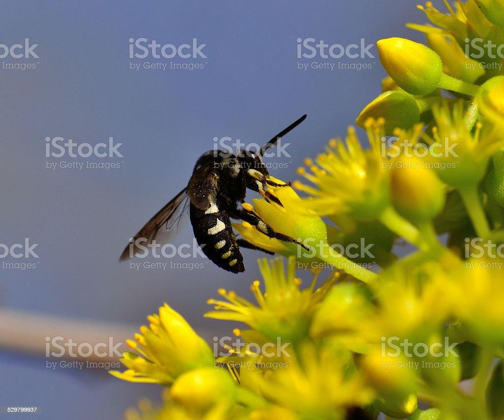Black bee thyreus histrionicus on aeonium flowers stock photo