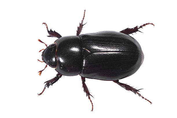 Black Beetle Aerial with clipping path stock photo