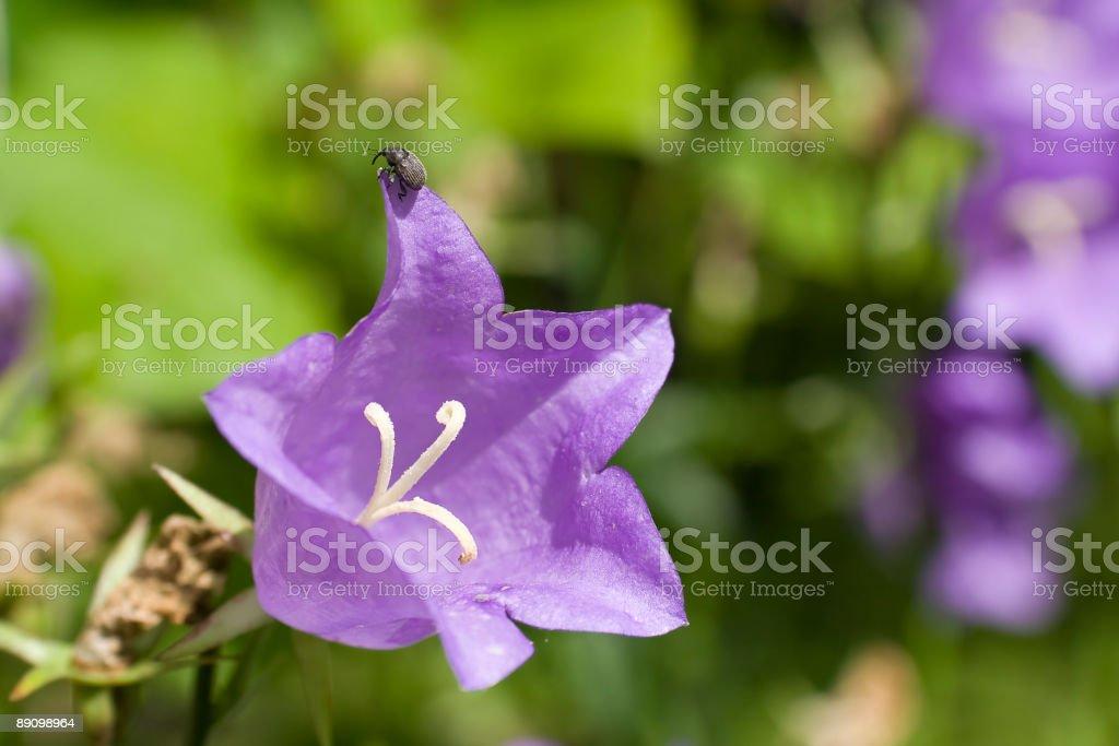 Чёрный носорог восхождение на Фиолетовый цветок Стоковые фото Стоковая фотография