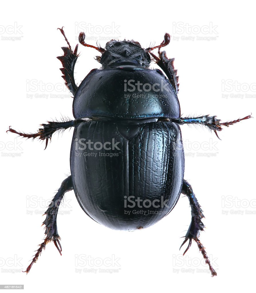 black beetle isolated on white background. Macro stock photo