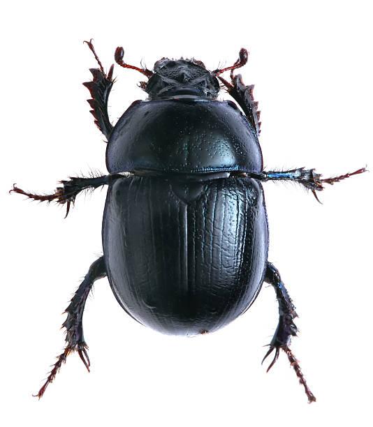 black beetle isolated on white background. Macro stock photo