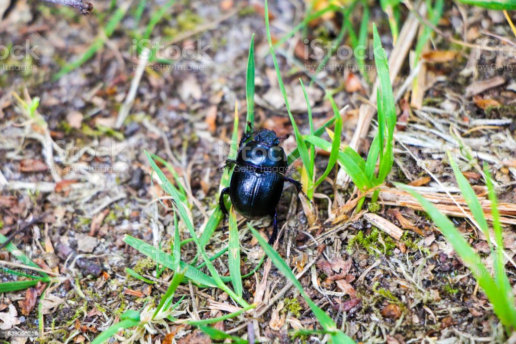Black Beetle on Grass stock photo