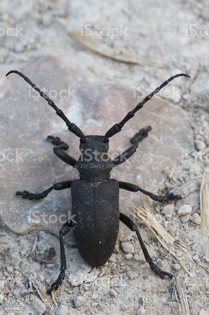 Black beetle stock photo