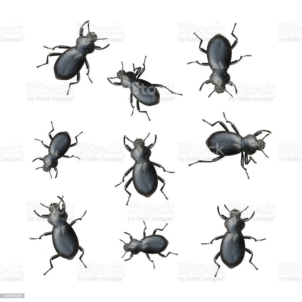 Black Beetles stock photo