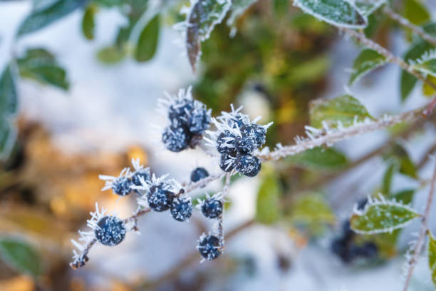 Black berries covered with frost in the form of long needles on a frosty winter day stock photo