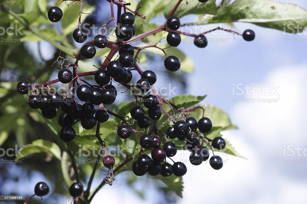 Black berries elderberry cluster Sambucus nigra with sky stock photo