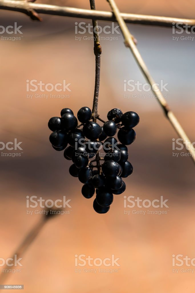 Black berries European privet on a blurred background (Ligustrum vulgare) stock photo