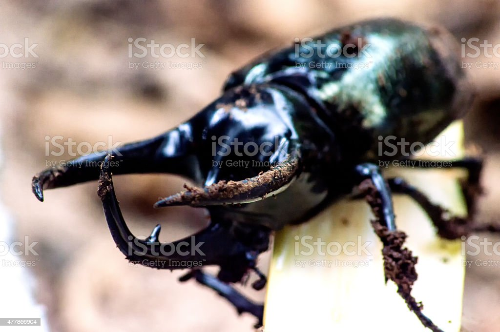 Black big beetle Chalcosoma atlas stock photo