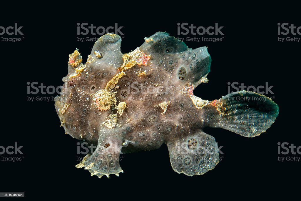black big frog fish underwater stock photo