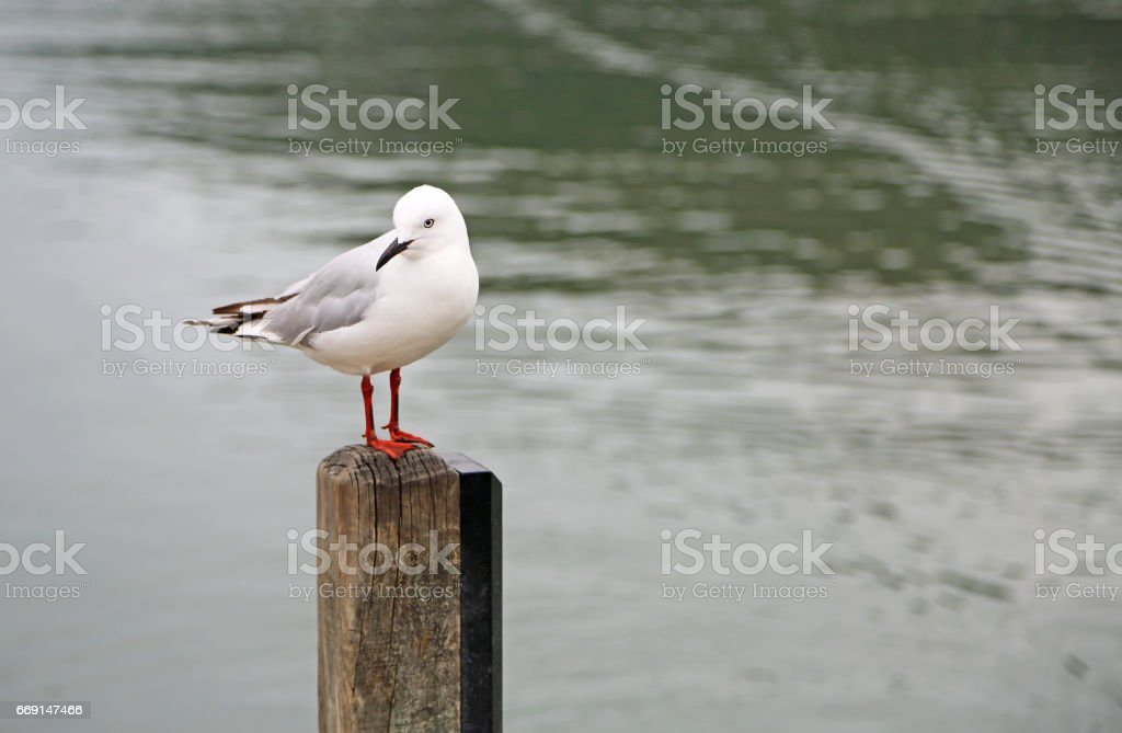 Black billed gull stock photo