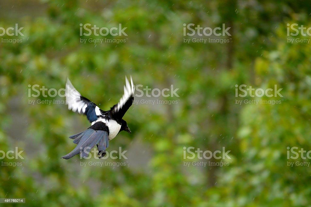Black Billed Magpie in flight stock photo