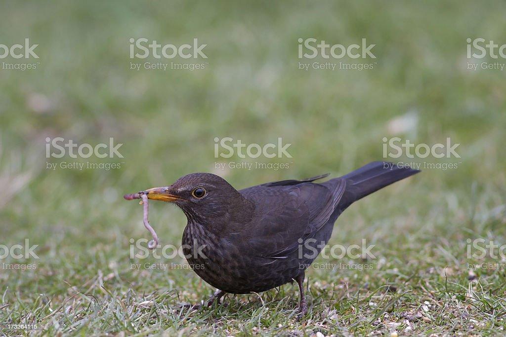 Black Bird stock photo