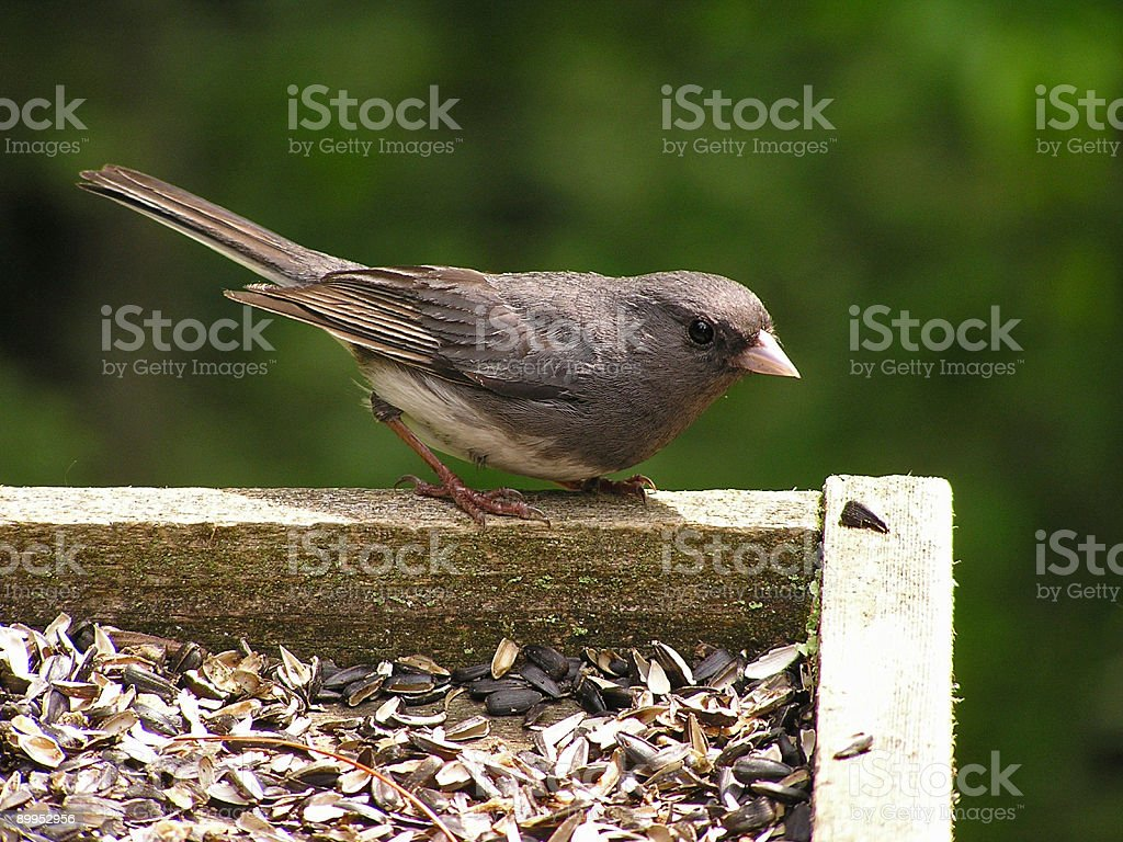 Black bird royalty-free stock photo