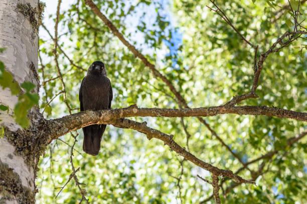 Schwarzer Vogel auf Baum Zweig gerade sitzen – Foto