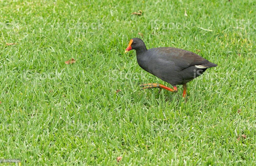 Black bird syndey park stock photo