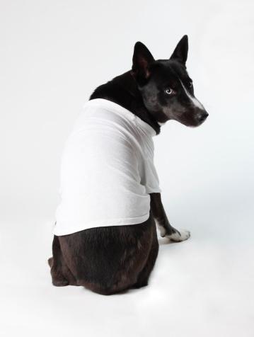 Black blue-eyed dog wearing white T-shirt