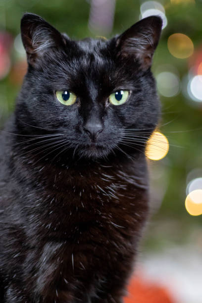 Black bombay cat with a christmas tree in the background picture id1045997562?b=1&k=6&m=1045997562&s=612x612&w=0&h=wlxl3svbip2ae1khqw g9b4aao7jfobccoidfpmm1vk=