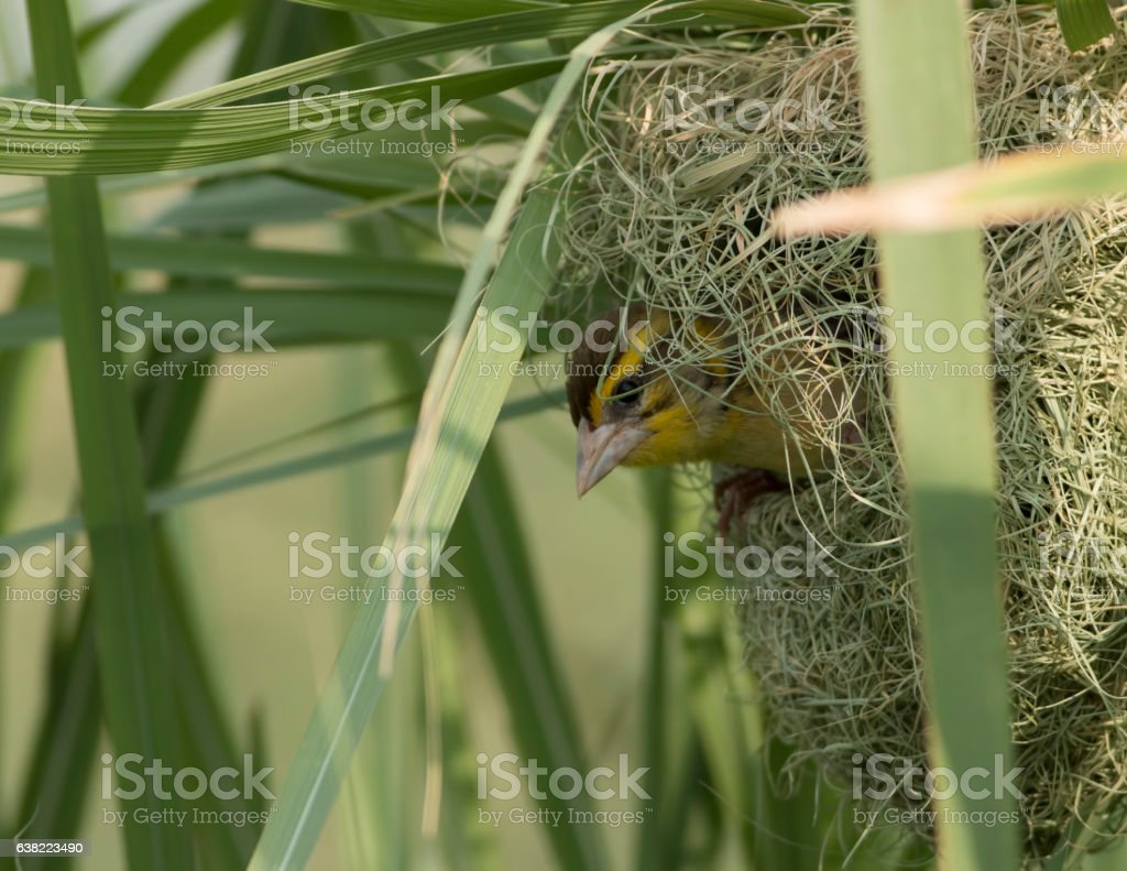 Black breasted  Weaver stock photo