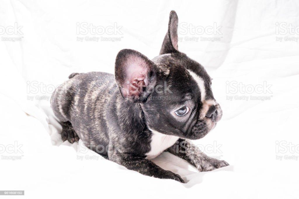 Negro Atigrado Frances Bulldog Cachorros Foto De Stock Y Mas Banco De Imagenes De Animal Istock
