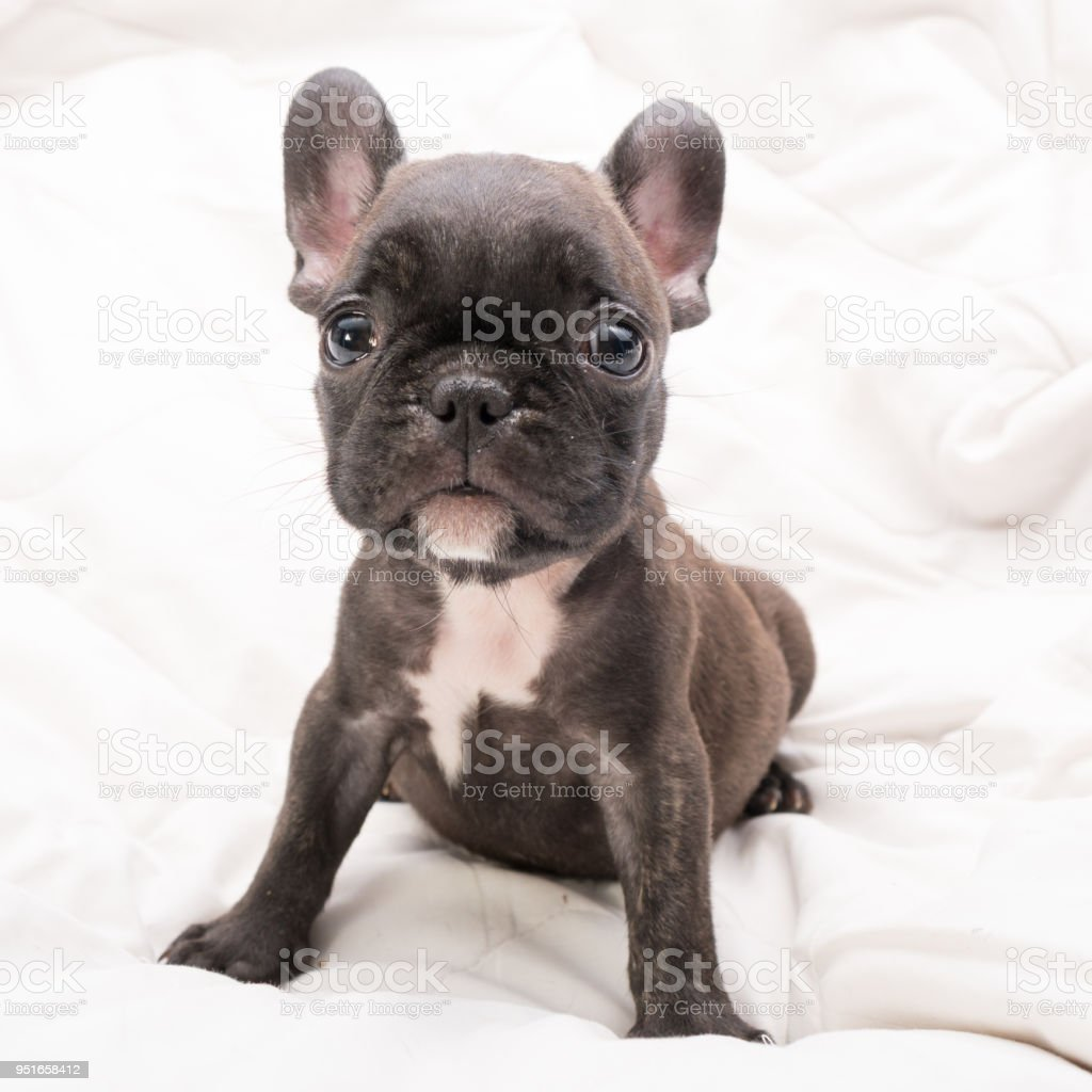 Black Brindle French Bulldog Puppy Stock Photo Download Image Now