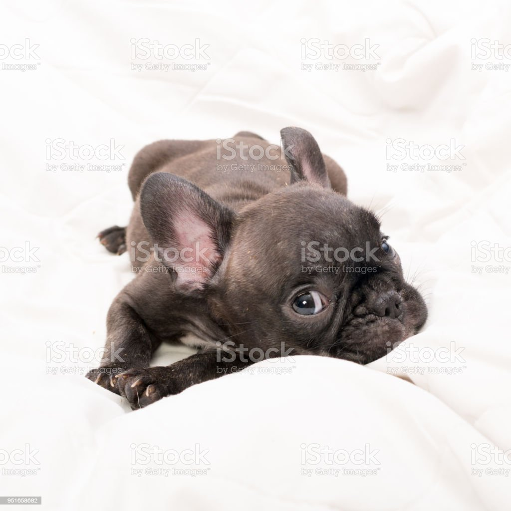 Black Brindle French Bulldog Puppy Stock Photo More Pictures Of