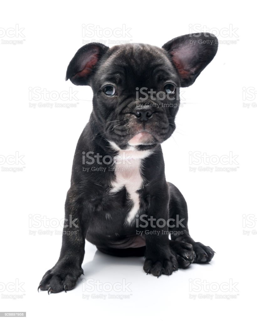 Black Brindle French Bulldog Puppy Siting Stock Photo More