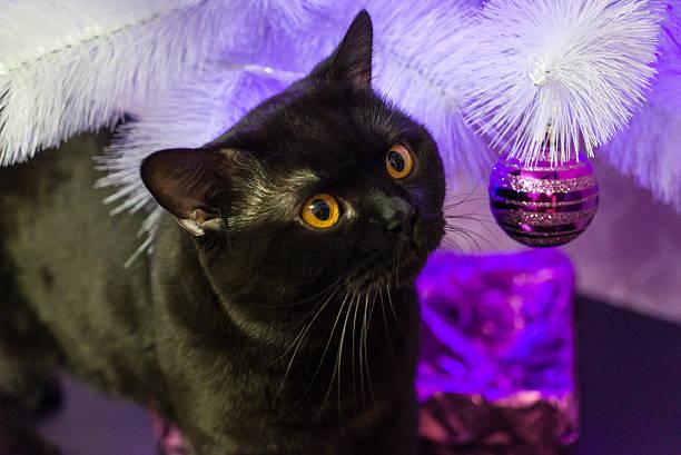Black british cat near a white christmas tree picture id542306454?b=1&k=6&m=542306454&s=612x612&w=0&h=btbvfylxcsws hdvcmg6aauxfhtigtrj90jgvx0qedw=