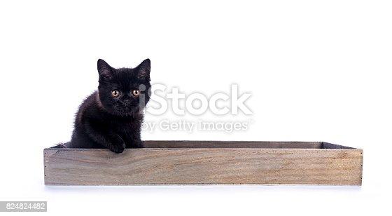 824824466 istock photo Black British Shorthair cat / kitten sitting in wooden tray looking at camera 824824482