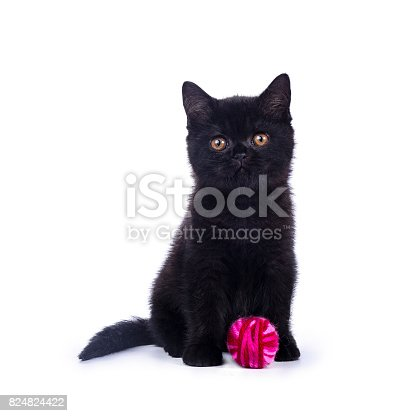 824824466 istock photo Black British Shorthair cat / kitten sitting isolated on white background with bright pink ball of wool 824824422