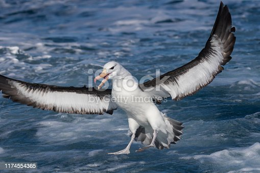 Thalassarche melanophris - The black-browed albatross, also known as the black-browed mollymawk, is a large seabird of the albatross family Diomedeidae; it is the most widespread and common member of its family.