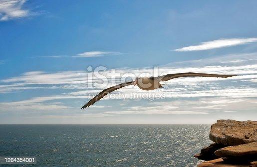 Black Browed Albatross in flight near a cliff in the Falkland Islands.