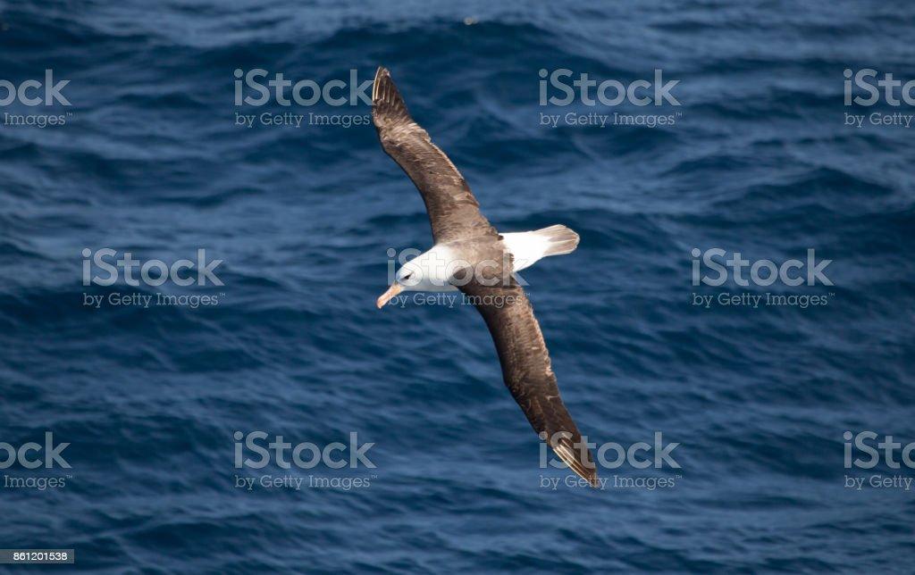 Un albatros de ceja negra en el aire - foto de stock
