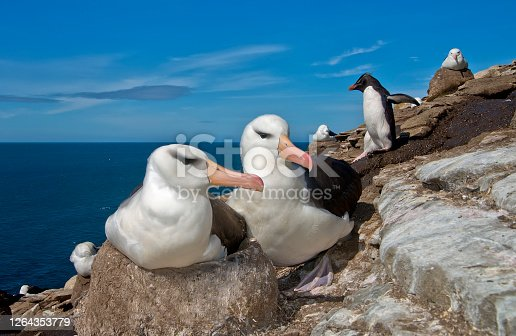 a Black Browed Albatross pair.  The female is  on the nest and a rockhopper penguin walks behind them in the Falkland Islands