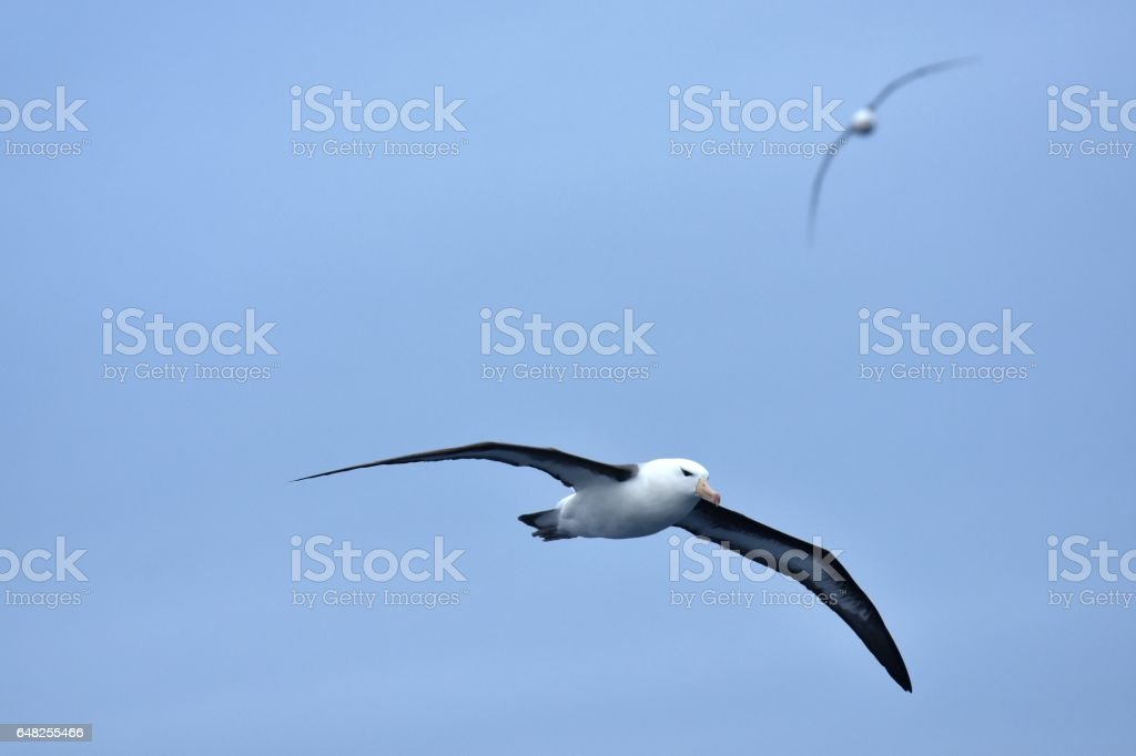 Albatros Browed negro - foto de stock