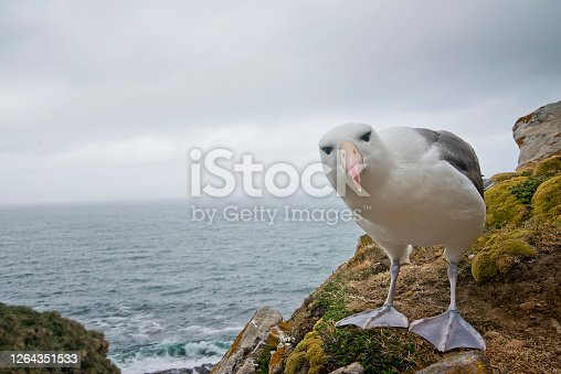 A black browed albatross posing at a cliff edge  in front of a colony of birds and the ocean in the Falkland Islands.  The bird is very curious of the camera