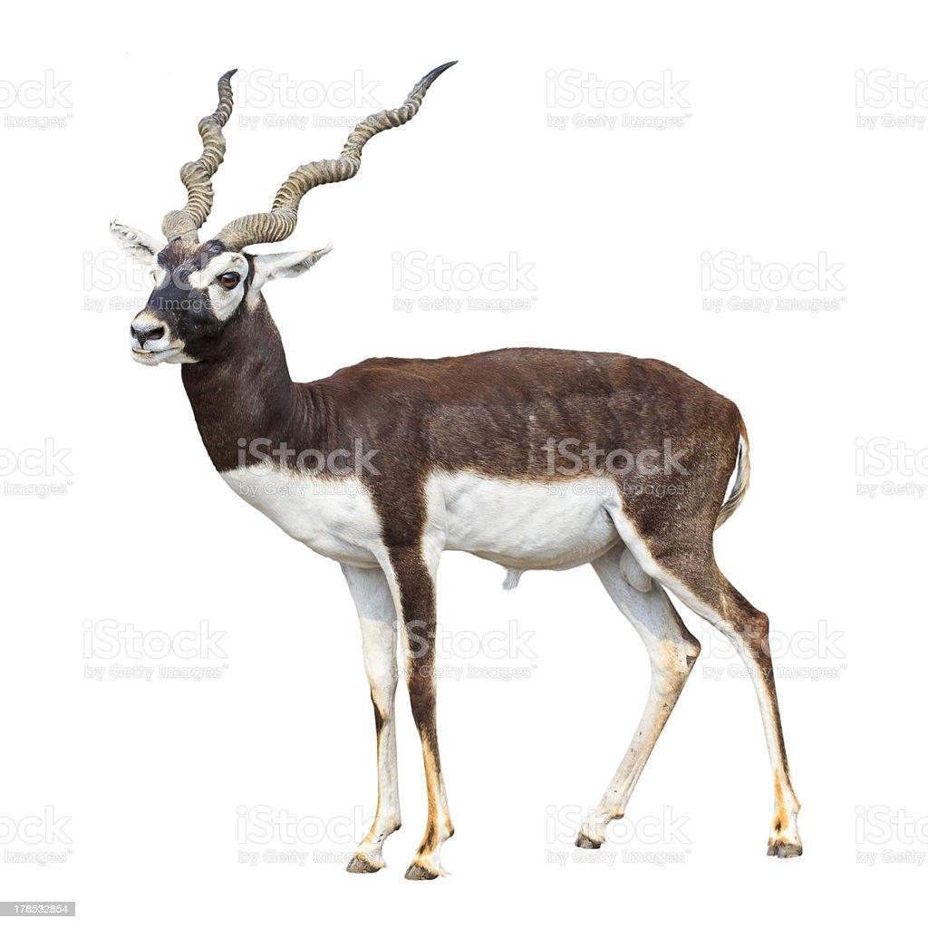 Black buck antelope isolated stock photo