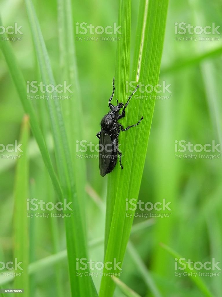 Black Bug royalty-free stock photo