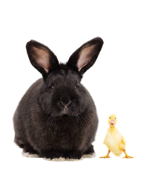 Black bunny and funny duckling - foto stock
