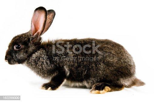 istock Black bunny 152259300
