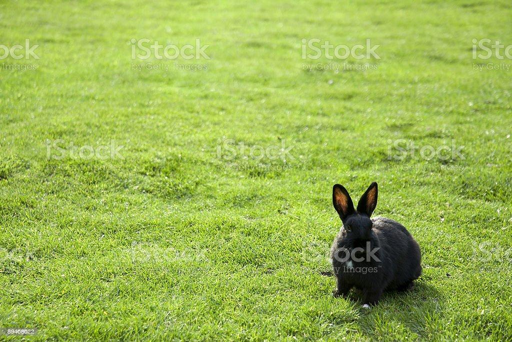 Черный кролик Стоковые фото Стоковая фотография